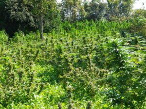 Cannabis-perquisition-2017-de-la-Surete-du-Quebec-300x225