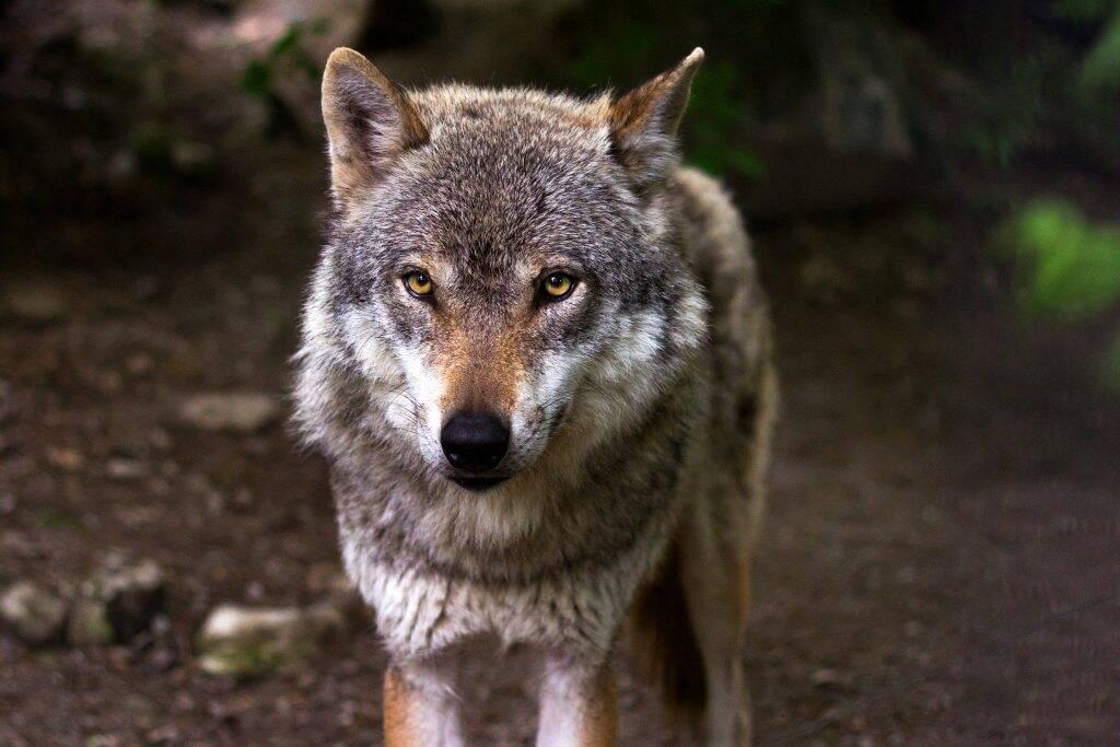 wolf-635063_1920-1024x683