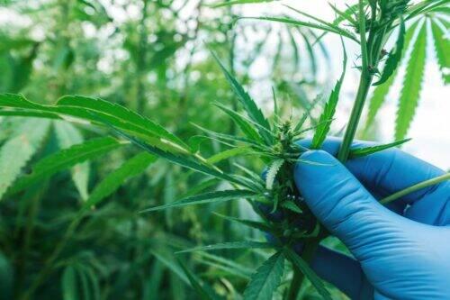 Cannabis-2-1024x683