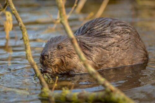 eurasian-beaver-in-water-peeking-through-branches-PY4CT9F-1024x683