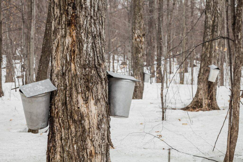 forest-of-maple-sap-buckets-on-trees-P6R36Z4-1024x683