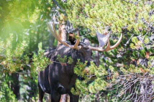 moose-in-the-trees-PKRRTZJ-1024x684