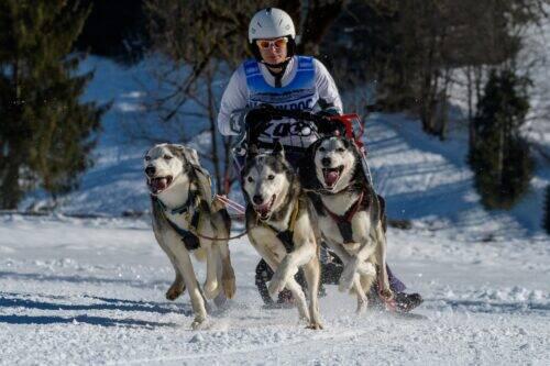 Course de traineaux à chien